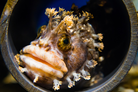 Close up of a Fringed Blenny hiding in a pvc tube. Stock Photo