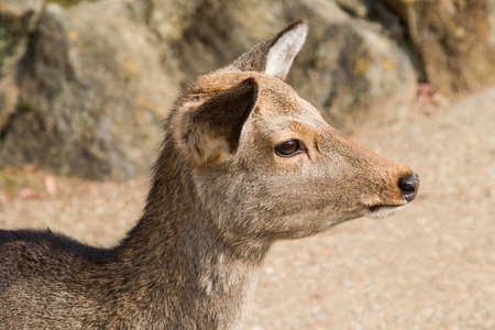 Close up of a female Sika Deer at Nara Park in Japan. Stock Photo