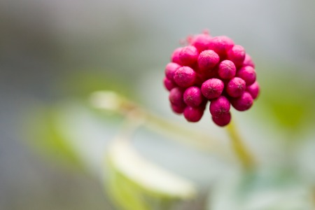 A close up shot of a cluster of small flowers about to bloom Stock Photo