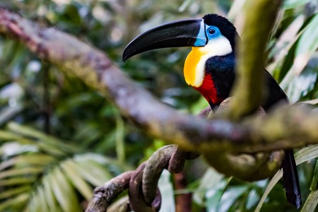 Close up of a Channel Billed Toucan on a branch.