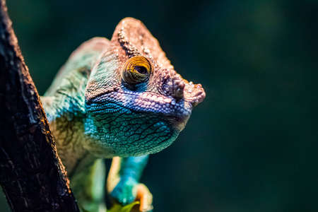 A green chameleon peering from behind a branch.