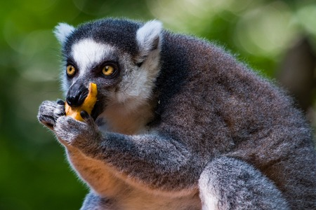 Close up of a ring tail Lemur eating fruit with both hands.