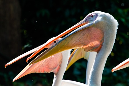 Close up shots of great white pelicans