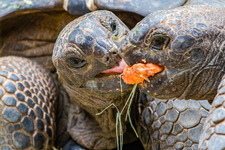 A couple of Giant Tortoises fighting over a mouthful of food. Stock fotó