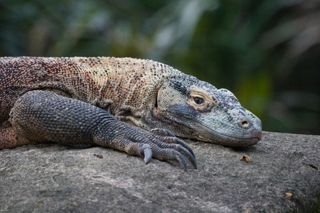 Close up of a Komodo Dragons resting on a boulder.
