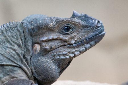 Close up of a Rhino Iguanas head.