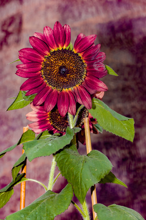 Close up of a colorful sunflower