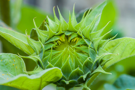 Close up of a sunflower bud about to bloom