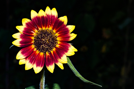 Close up of a solo colorful sunflower in a garden Stock Photo