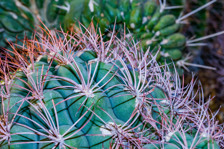 Close up of clusters of spines and needles of a cactus