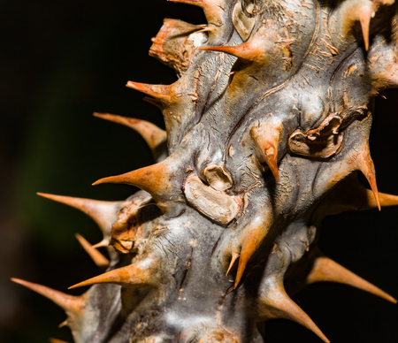 Close up of thorn branch of a cactus plant Stock Photo