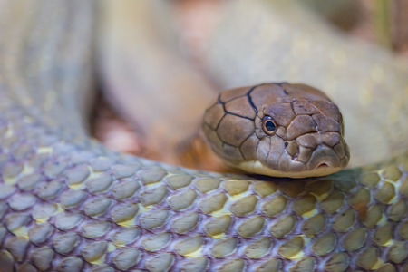 Close up of a coiling King Cobra making eye contact.