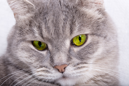 Sad muzzle of a gray cat. Light background, close up, small depth of sharpness, free space on the right Stock Photo