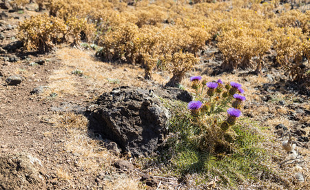 Prickly filetovy flower in the droughty desert district on a background the zhetykh and the brown dried-up plants