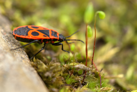 telltale: The orange bug reaches for a blade. Pyrrhocoris apterus or a bug tell-tale sits on a stone and pulls pads to a blade. Macro, small depth of sharpness