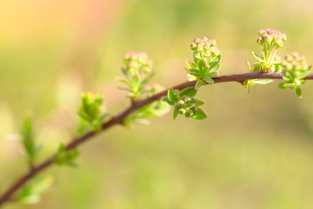 The spirea branches with buds lit with the sun. The close up, small depth of sharpness, is a lot of small buds, an indistinct light green background