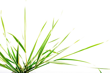 Leaves of a decorative sedge on a white background. Fragment, copyspase on the right, isolated