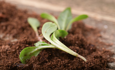Replacing of seedling, several young green sprouts lie on a soil small group. Reklamní fotografie - 75384390