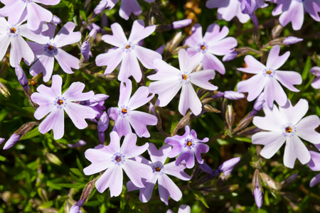 Inflorescence of lilac spring flowers, lit with the sun. The phlox is an awl-shaped, close up, a small grubina of sharpness