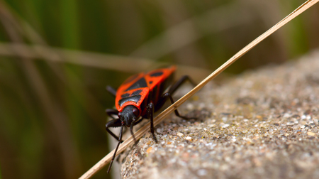 telltale: Orange bug and straw. Pyrrhocoris apterus or a bug tell-tale creeps through a straw on a concrete strip. A background from a grass, the macro, small depth of sharpness