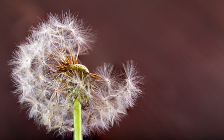 White dandelion on a red-brown background. The dandelion has partially flown, a close up, selective focus, copyspace on the right Stock Photo