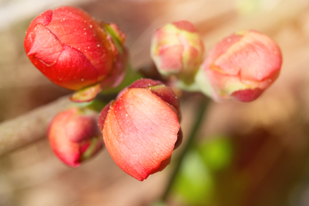 Bright pink buds of a quince close up. Macro, small depth of sharpness. Buds are lit with a sunlight on an indistinct light beige background.