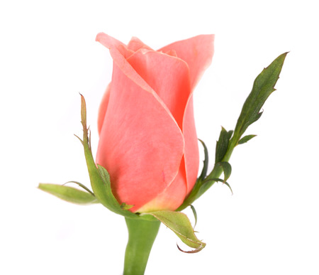 Pink rose on a white background. Close up, small depth of sharpness