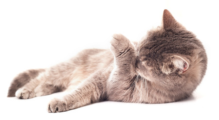 The gray cat lies and washes. The gray cat licks language a forepaw and lies at the same time. It is isolated on a white background, the small depth of sharpness, selective focus