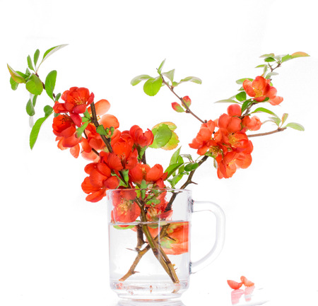 Branches of the Japanese quince with red flowers in a glass vase. It is isolated on white, a close up, small depth of sharpness