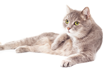 The gray cat lies on one side, a white background. It is isolated on white, the small depth of sharpness, selective focus Stock Photo