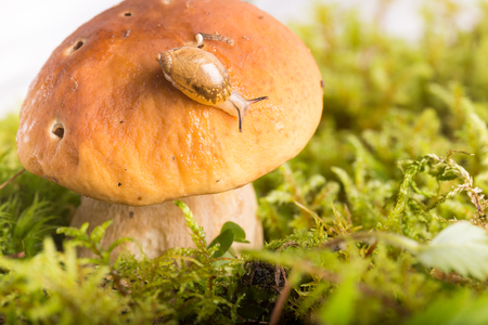 Snail on the edge of a hat of edible mushroom. Close up, small depth of sharpness Stock Photo