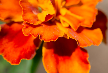 Fragment of an orange flower of marigold. Close up, small depth of sharpness