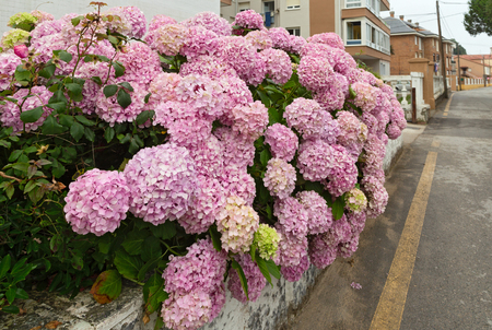 Bushes of a pink hydrangea against the city street. Spain, cloudy summer day, the deserted street and large pink inflorescences in the foreground Stock Photo