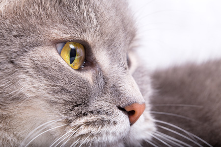 Fragment of a muzzle of a gray cat in a profile. Light background, close up, small depth of sharpness