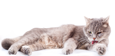 The gray cat lies and washes. The gray cat licks language a forepaw and lies at the same time. It is isolated on a white background, the small depth of sharpness, focus on a forepaw