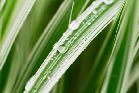 Decorative sedge with drops of water. The white-green grass closeup after rain. Shallow depth of field Stock Photo
