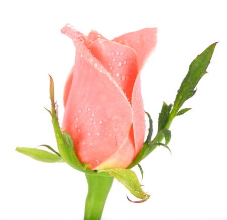 Pink rose with water drops on a white background. Close up, small depth of sharpness, rose bud