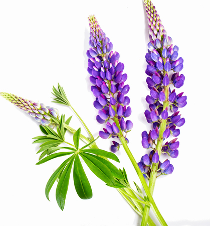 Violet flower of a lupine on a white background. A close up, it is isolated on white Banco de Imagens