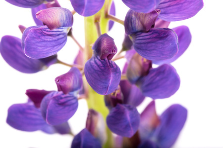 Violet flower of a lupine on a white background. A close up, it is isolated on white Stock Photo