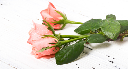 Roses with water drops on white. Three pink roses with drops of dew lie on a white board. Close up, small depth of sharpness Stock Photo