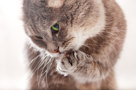 cat grooming: The cat licks the pad of his front paw. Close-up, shallow depth of field. Gray cat, green eyes, white background Stock Photo