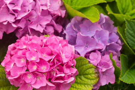 Flowers of a pink and lilac hydrangea. Close up, small depth of sharpness Stock Photo