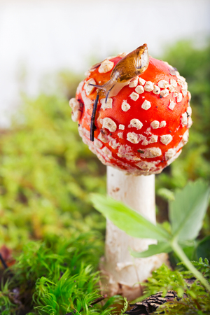 Snail on the edge of a fly agaric hat. Close up, small depth of sharpness, green grass and moss, white background Stock Photo