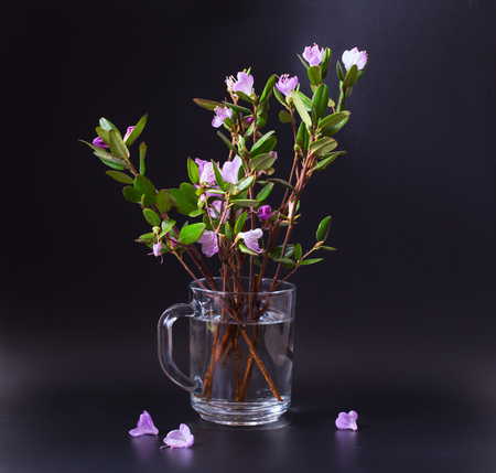 Pink and lilac flowers of a Labrador tea on a black  background. Branches stand in a transparent glass mug. Close up, small depth of sharpness
