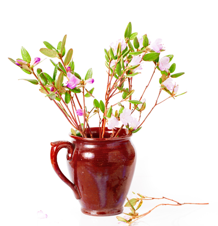 The blossoming Labrador tea branches with pink colors in a ceramic pot. It is isolated on a white background