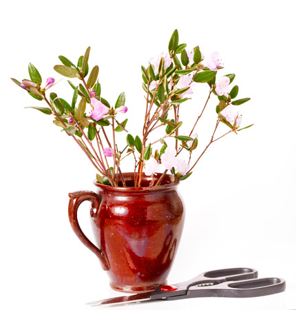 scissors: The blossoming Labrador tea branches with pink colors in a ceramic pot. It is isolated on a white background. Near a pot scissors lie Stock Photo