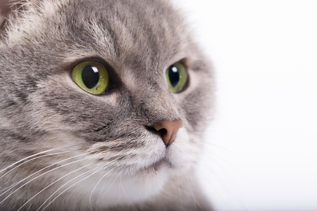 The head of the gray cat with green eyes looking up. White background, close up, small depth of sharpness, free space at the left Stock Photo