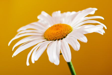 Camomile flower on a yellow background. Close up, selective focus Stock Photo
