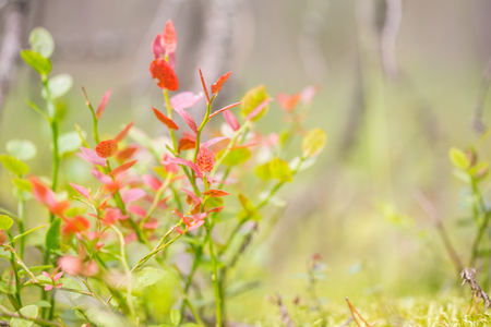 Autumn bush of blueberries. A plant with red leaves, lit by the sun. Close-up, selective focus, free space on the right. Stock Photo