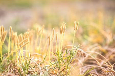 Blooming grass, lit by the sun. Close-up, selective soft focus, blurred background. Plants of autumn forest in Karelia